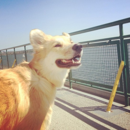 A dog basks in the sea breeze on the Seattle Ferry to Bainbridge Island
